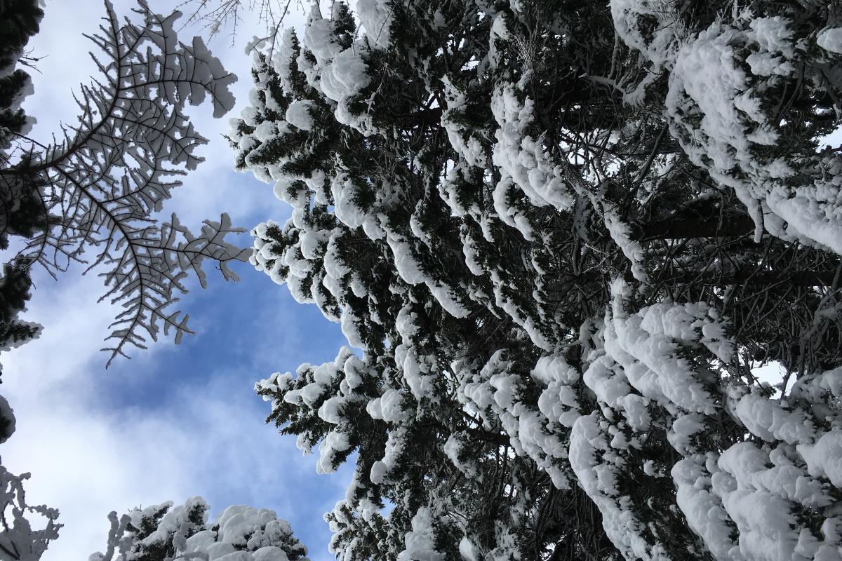 Snowy pines